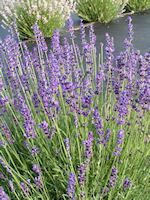 LAVENDER PLANTS FOR SALE - BUY LAVENDER PLANTS ONLINE - US | Lavender Plant For Sale