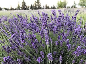 Lavender Hydrosol Wholesale Suppliers, Distillers & Growers